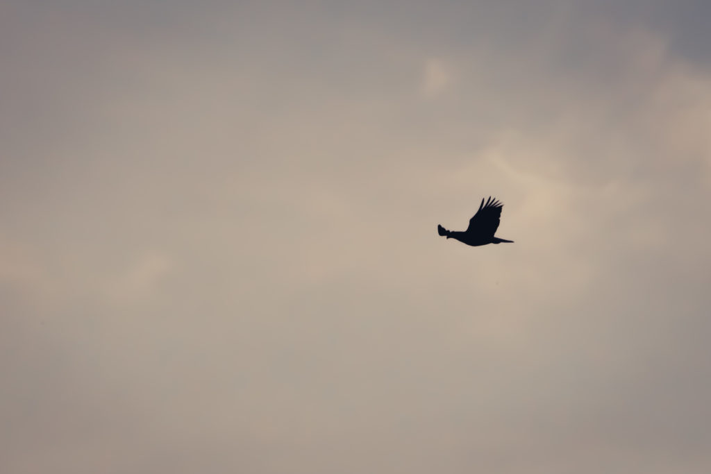 A bald eagle in flight over Lake Washington, at Juanita Bay