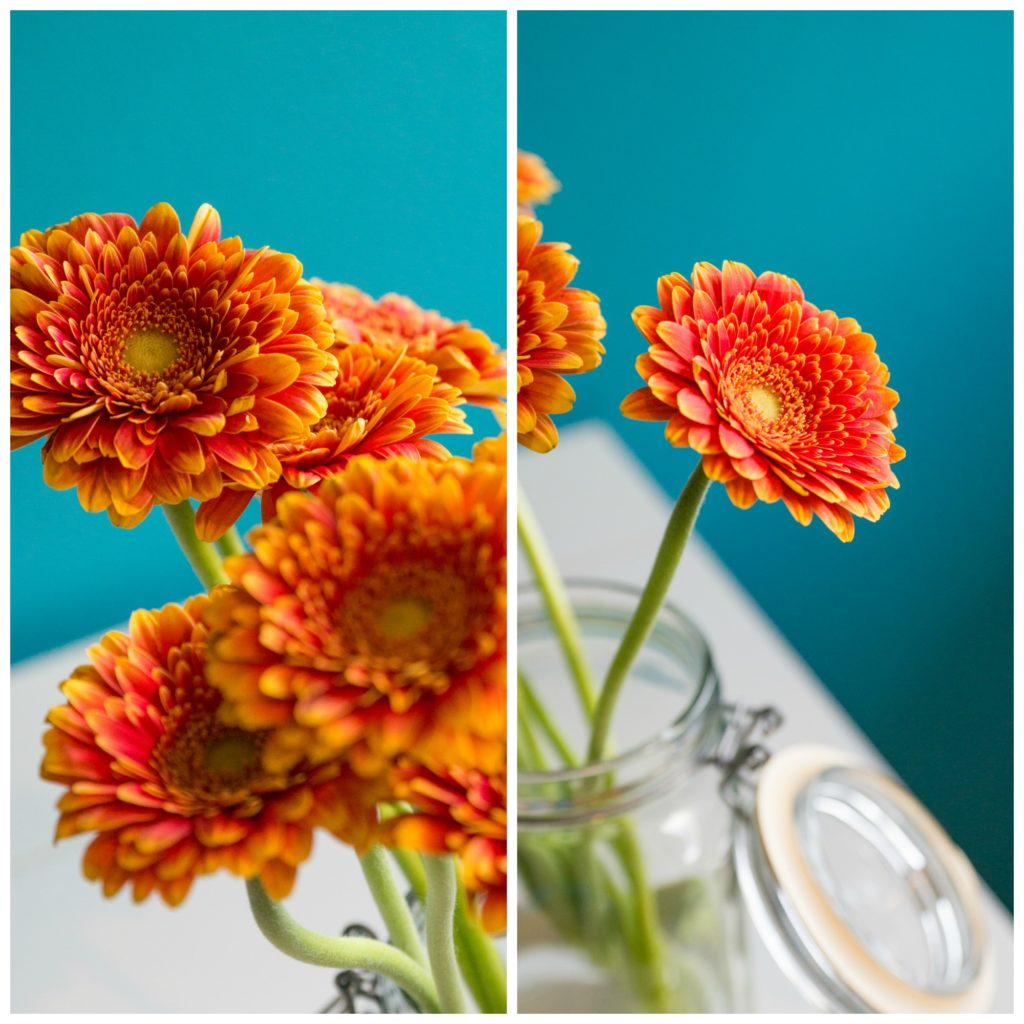 Vivid and bright orange gerbera daisies in a glass jar against my teal blue wall